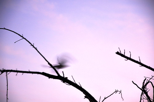 bird sunrise lens photography spring purple branches lynne genel 18105mm glphotography genellynne