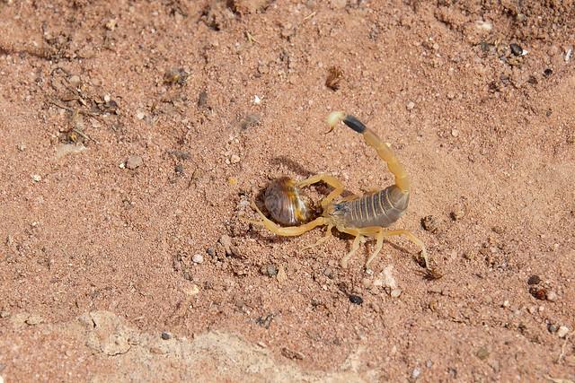 Deathstalker Scorpian at Petra, Jordan