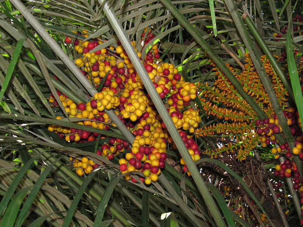 Colorful fruit of Sugar Palm @ Fairchild Gardens, FL - a photo on ...