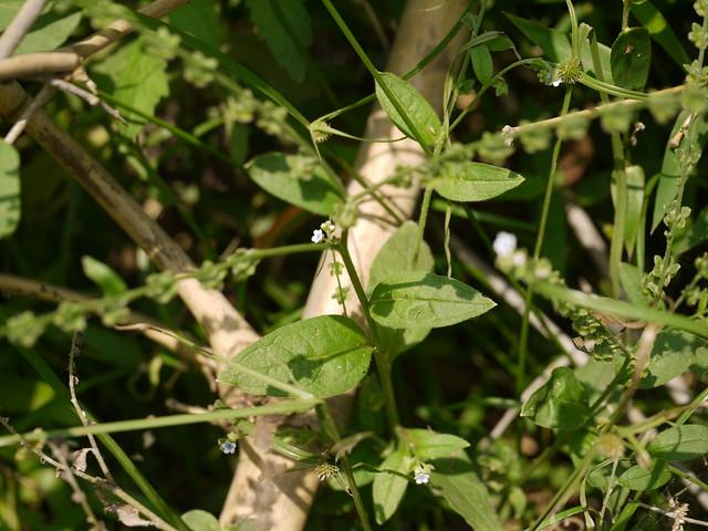 Cynoglossum ¿ lanceolatum Forssk. ?