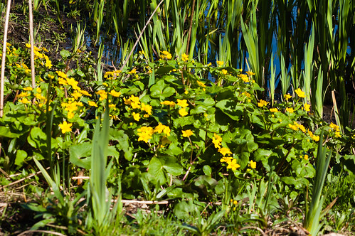Marsh marigolds flowering