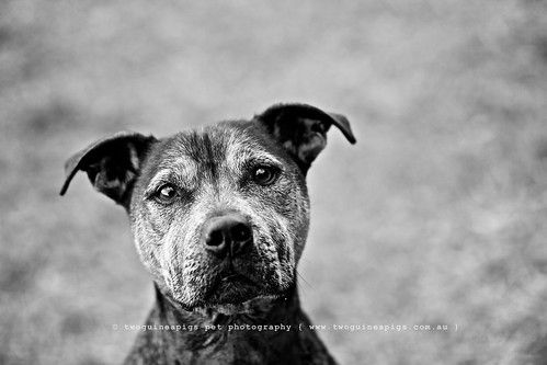 Zac portrait of a Staffy dog Zac by twoguinepaigs pet photography