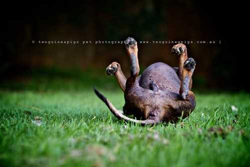 Upside-down by twoguinepaigs pet photography