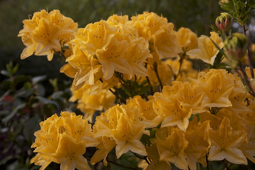 Golden Azalea Mollis orange