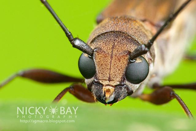 Longhorn Beetle (Cerambycidae) - DSC_7950