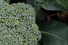 cu broccoli flower head