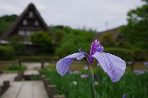 2011年 菖蒲 by 博多たまこ
