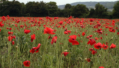 Poppy Field near Eynsford, Kent