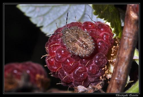 Larve de Dolycoris baccarum (pentatome des baies)
