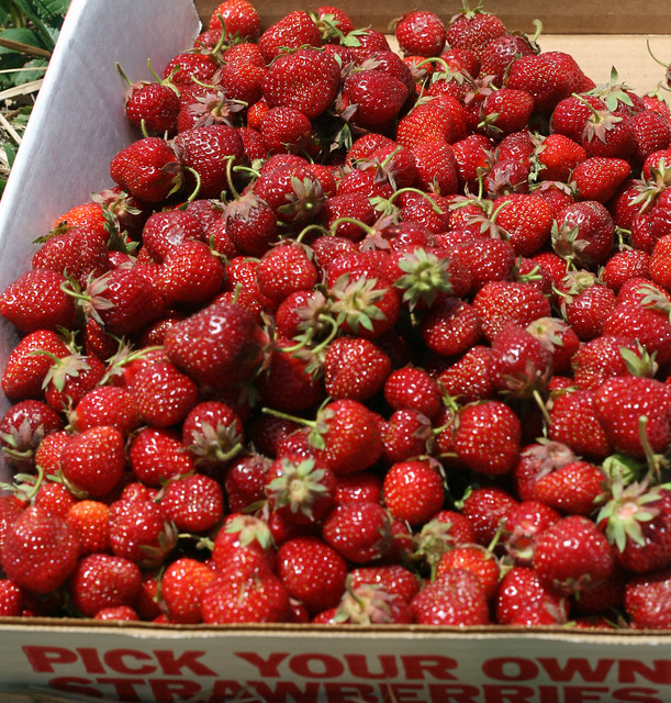 pick your own strawberries!