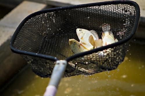 汙水處理擋不住人工雌激素 避孕藥恐「絕後」淡水魚