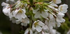 Help Japan Hanami 花見 Blossom