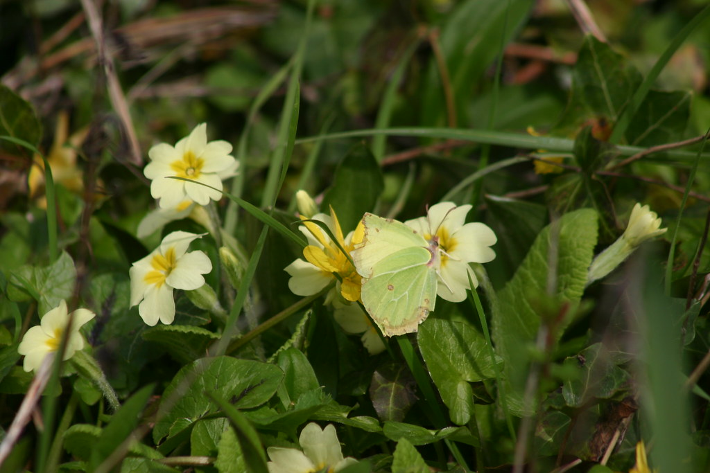 Brimstone and primroses