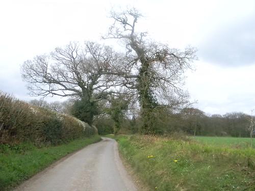 Blackthorn in hedge