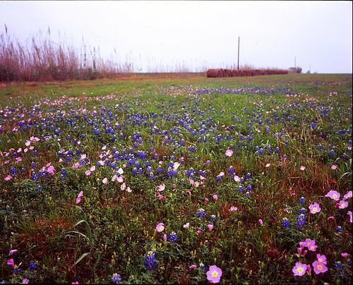 flower film mediumformat geotagged texas bluebonnet 6x7 wildflower haybale filmscan texaswildflowers pinkprimrose geo:lat=29572268551012833 geo:lon=9703894512852094