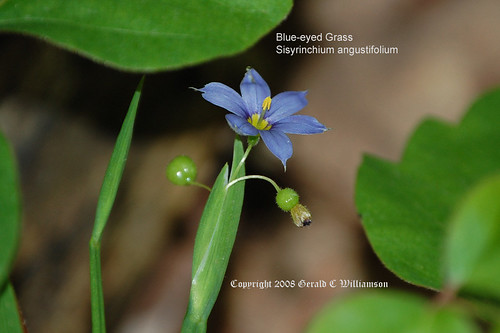 Blue-eyed Grass - Sisyrinchium angustifolium