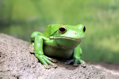 animal, amphibian, frog, tree frog, macro photography, green, fauna, close-up, ranidae, wildlife,