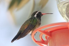 White-eared Hummingbird, Miller Canyon, Arizona
