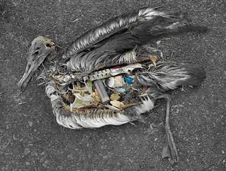 海廢:信天翁肚子含大量塑膠製品,圖片來源httpchrisjordan.comc urrent_set2.phpid=11