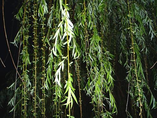 tree willow habitat producer terrestrial ecosystem photosynthesis gsubiol1210 gsubiol1210am