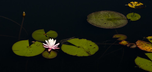 flower watercolor waterlily florida lilypad highway30a