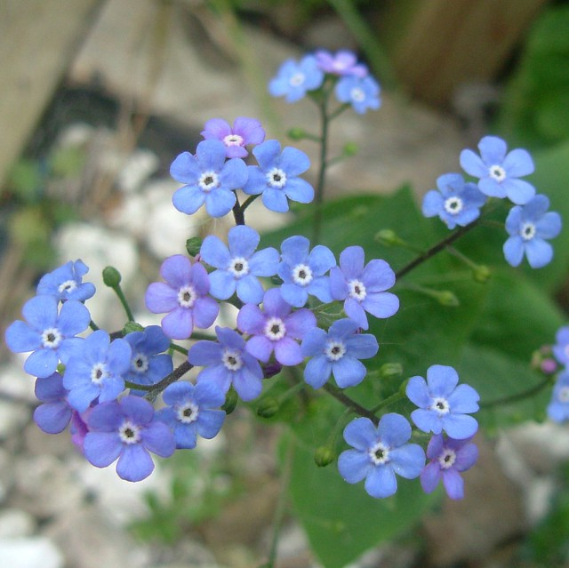 Forget Me Not (Brunnera) Flowers of Stave Hill Ecology Park, London @ 16 April 2011