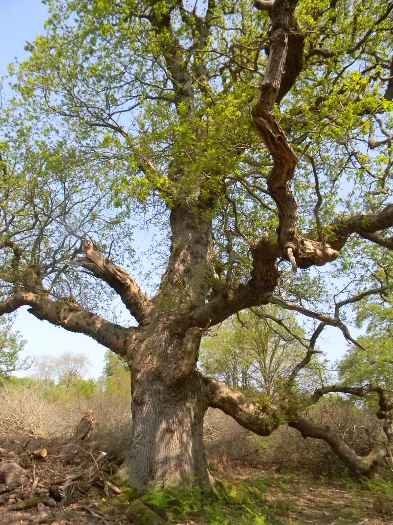 Shapely tree Frant to Tunbridge Wells
