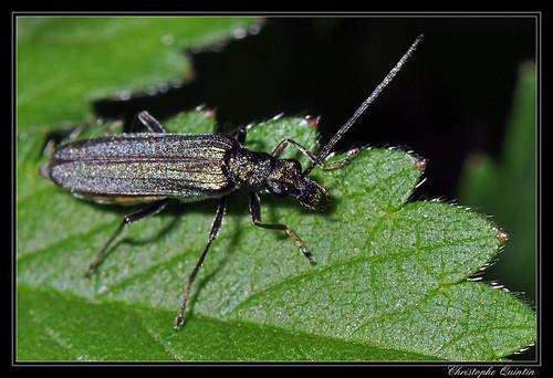 Oedemère noble (Oedemera nobilis) femelle