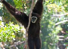 chimpanzee(0.0), capuchin monkey(0.0), great ape(0.0), gibbon(1.0), animal(1.0), rainforest(1.0), mammal(1.0), fauna(1.0), spider monkey(1.0), new world monkey(1.0), jungle(1.0), ape(1.0), wildlife(1.0),