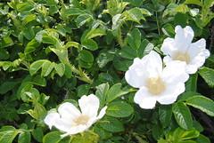 blossom(0.0), gardenia(0.0), rosa pimpinellifolia(0.0), jasmine(1.0), shrub(1.0), flower(1.0), plant(1.0), rosa rubiginosa(1.0), flora(1.0), rosa multiflora(1.0), rosa acicularis(1.0), rosa rugosa(1.0),