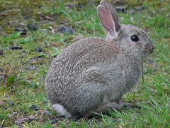 pet(0.0), animal(1.0), hare(1.0), rabbit(1.0), domestic rabbit(1.0), fauna(1.0), wood rabbit(1.0), whiskers(1.0), rabits and hares(1.0),