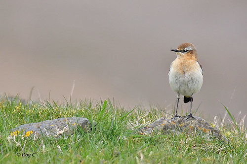 Northern Wheatear on the lookout