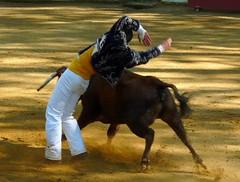 Course d'Amou, 17 avril 2011, 47, superbe série de Mathieu Noguès sur la vache sans corde