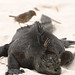 Small photo of Amblyrhynchus cristatus basks with finch