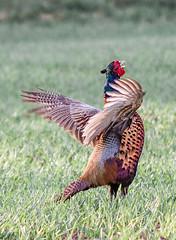 animal(1.0), prairie(1.0), pheasant(1.0), wing(1.0), fauna(1.0), wild turkey(1.0), beak(1.0), bird(1.0), galliformes(1.0), wildlife(1.0),