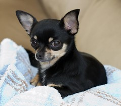 Buddy the Chihuahua