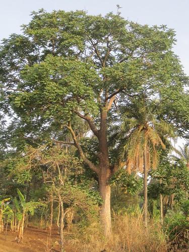 Male shea tree (Vitellaria paradoxa)
