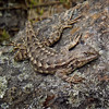 "<a href=""http://www.flickr.com/photos/wolfraven/5633006561/"">Photo of Sceloporus occidentalis by Jack Wolf</a>"