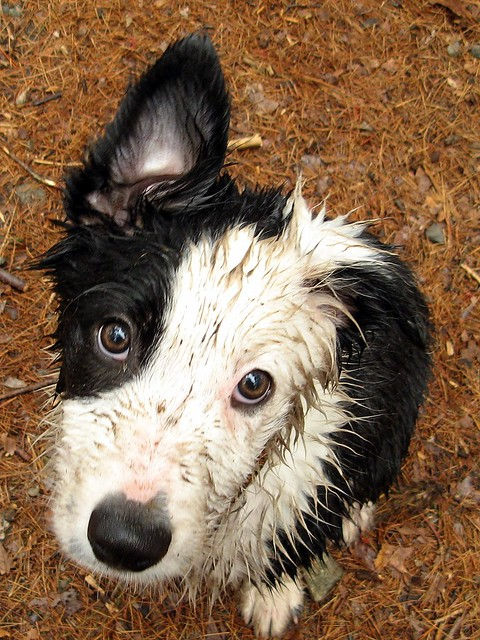 Cute Funny Puppy Wet Border Collie