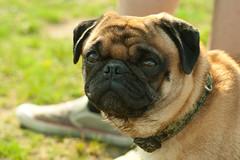 dog breed(1.0), animal(1.0), puppy(1.0), dog(1.0), pet(1.0), carnivoran(1.0), bullmastiff(1.0), pug(1.0),