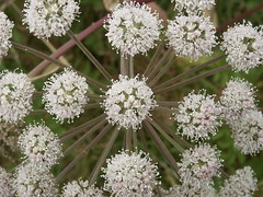 flower, cow parsley, plant, herb, anthriscus, caraway,