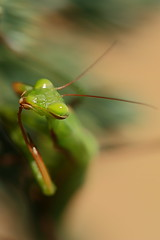 animal, nature, invertebrate, macro photography, mantis, green, fauna, close-up,