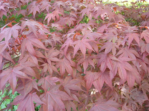 Gardeners Tips 2011 acer