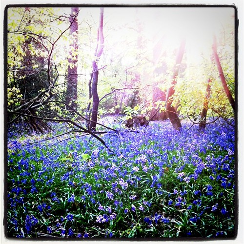 Walk at Lickey Hills in spring ->; obligatory bluebells photo