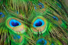 animal(0.0), peafowl(0.0), wing(0.0), beak(0.0), bird(0.0), feather(1.0), macro photography(1.0), green(1.0), fauna(1.0), close-up(1.0),
