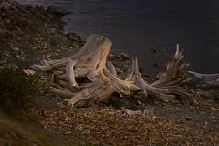 tree(0.0), wildlife(0.0), root(1.0), driftwood(1.0), leaf(1.0), wood(1.0), nature(1.0),