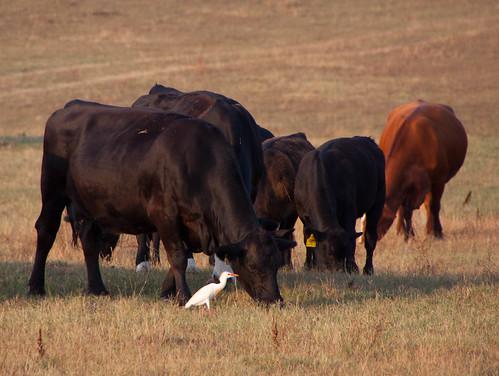 ranch animals canon ga georgia cows crane farm moo dslr birdfield