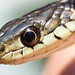 Eastern Garter Snake - Photo (c) Ken-ichi Ueda, some rights reserved (CC BY-NC-SA)