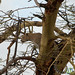 Leopard in the Tree - Serengeti, Tanzania