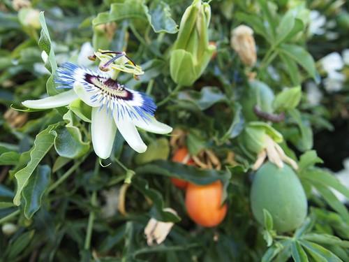 Passiflora Flower